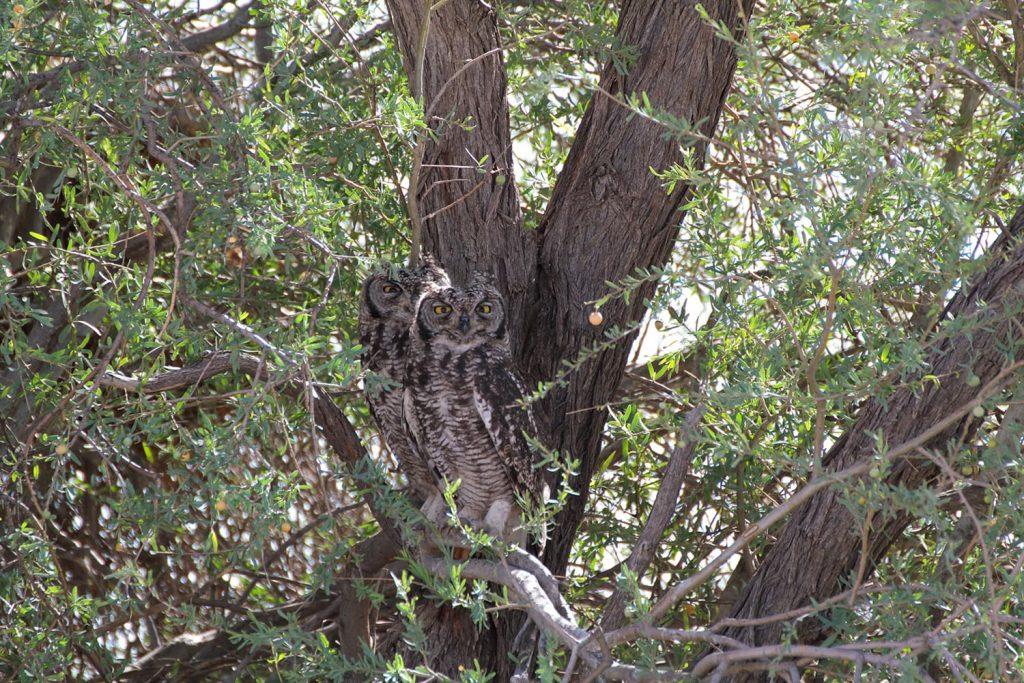 仲良く2羽で並んでいたアフリカワシミミズク