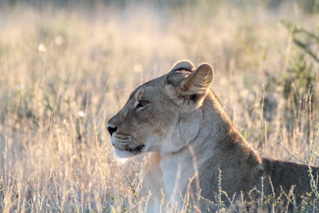 カラハリライオンはメスも美しい