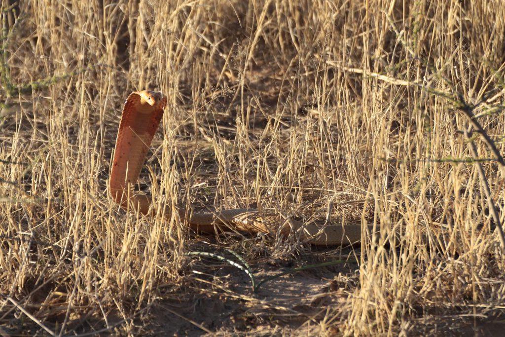 鎌首を持ち上げるケープコブラ