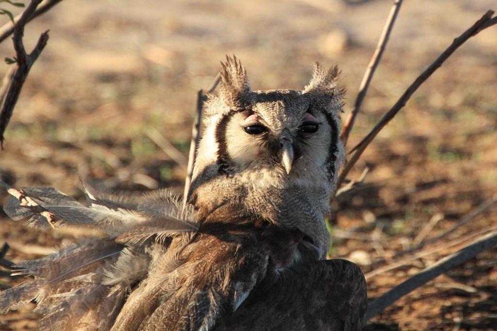 アフリカワシミミズクがクロワシミミズクを捕獲、食事中でした