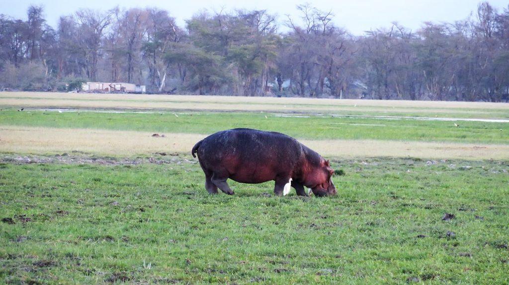 明るい時間でも、たまには草を食べにくるカバ