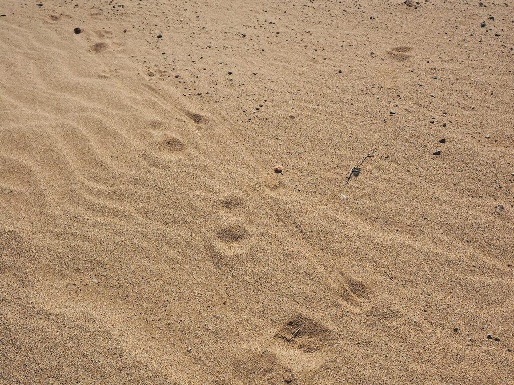 ゼンメリングかドルカスか、種ははっきりしませんが、ガゼルの足跡。