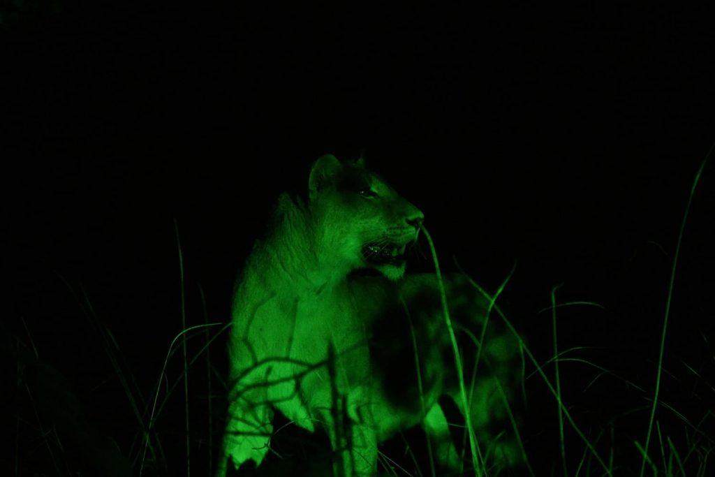 ナイトサファリ、狩りを試みようとしていたライオン
