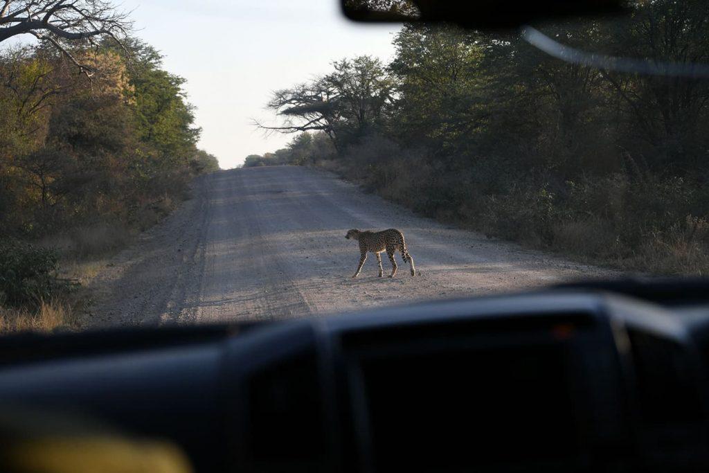 グレート・ジンバブエに向かう途中、道を横切るチーター