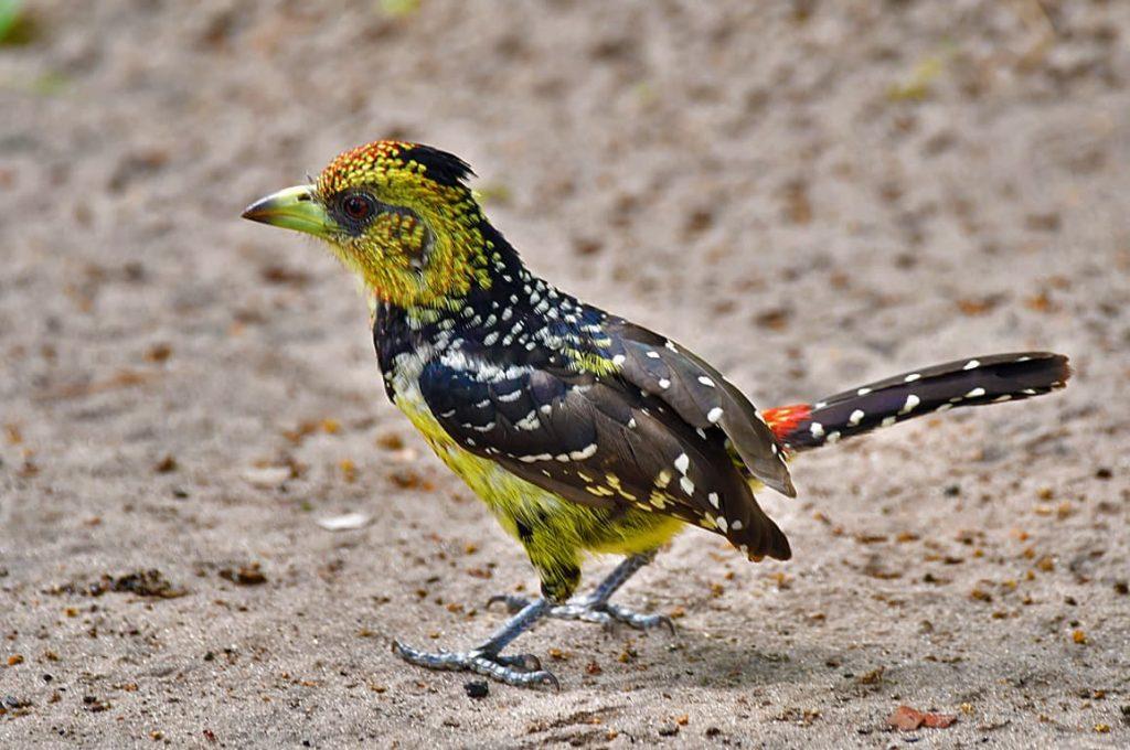 ムナオビオナガゴシキドリ