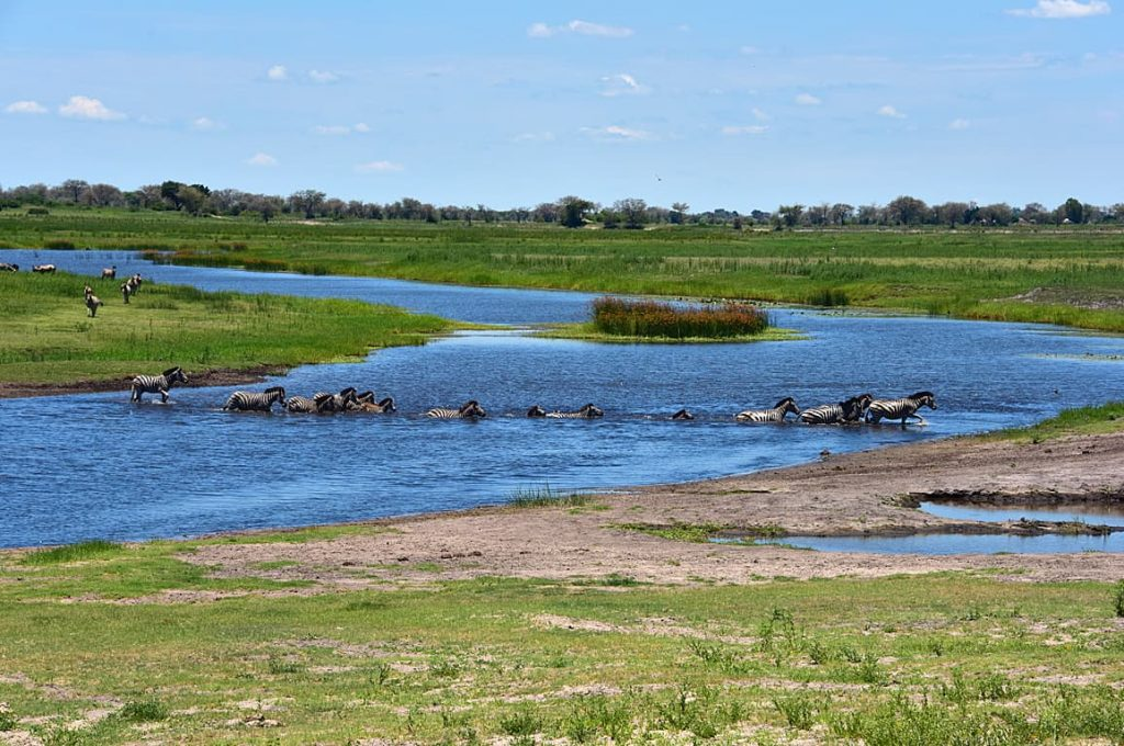チョベ川を泳いで渡るシマウマ1