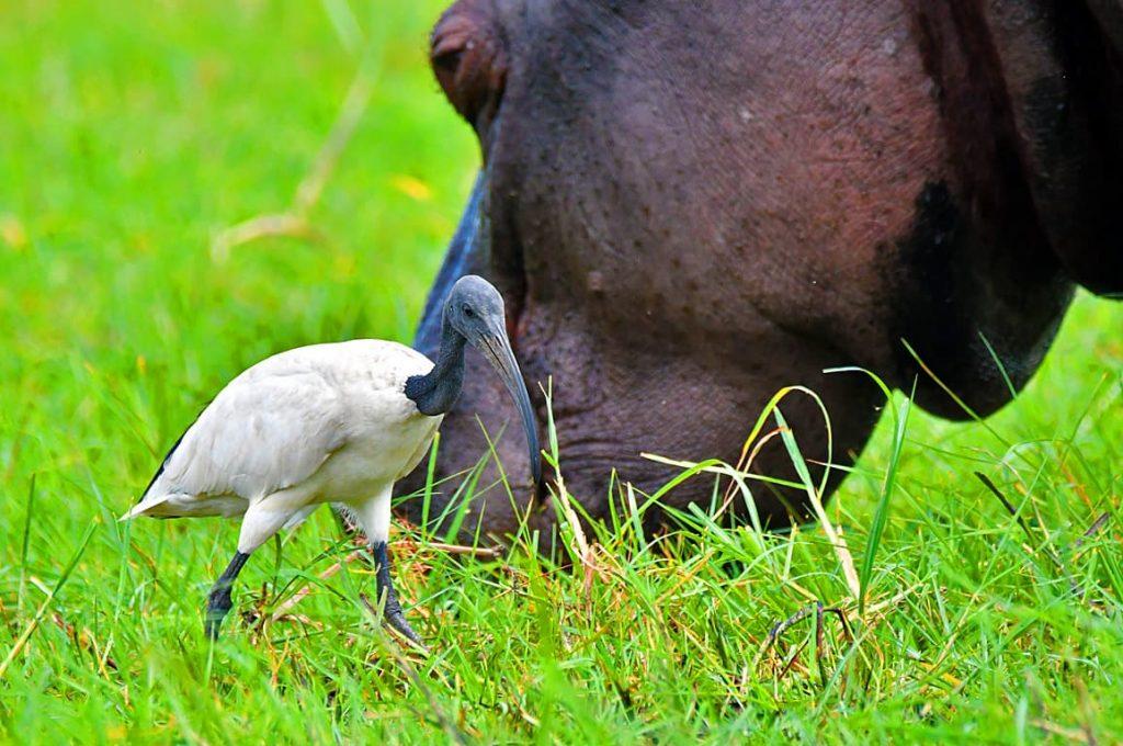 アフリカクロトキとカバ