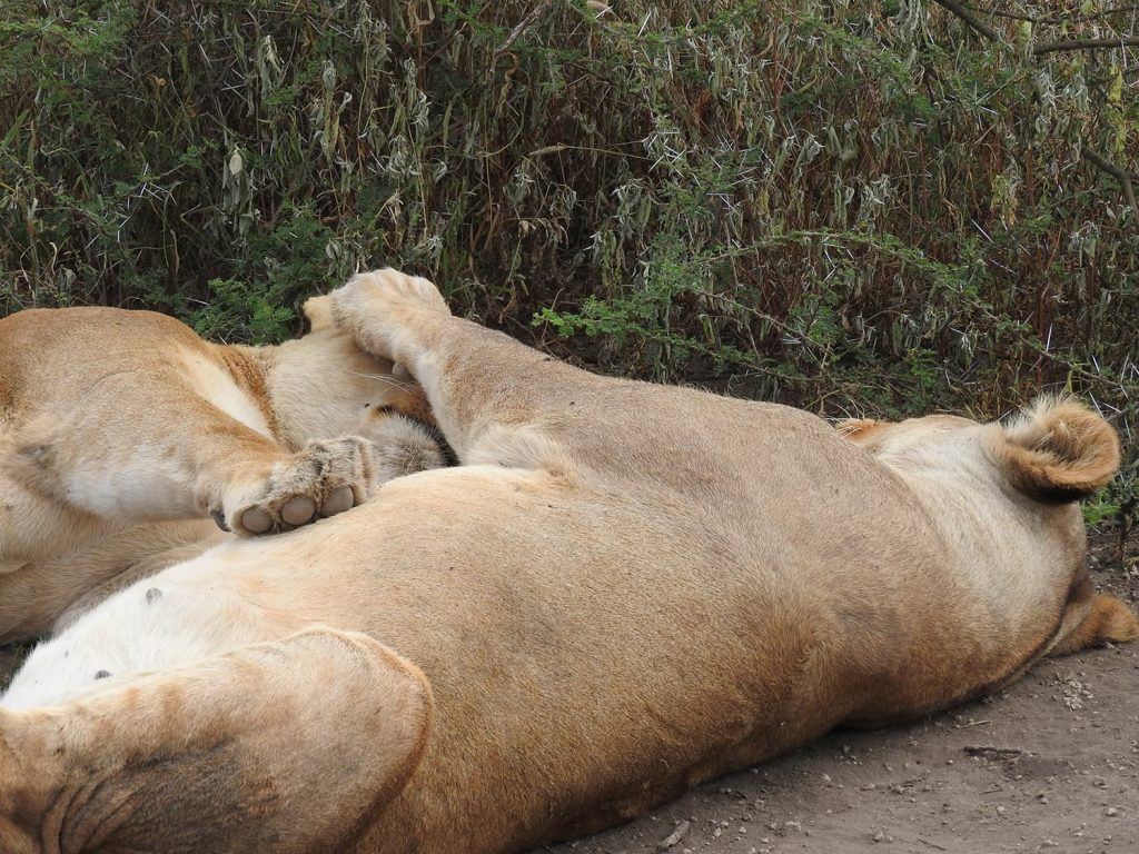 どこかトイレをしたいと場所を探していたらライオンを発見、何とも気持ちよさそうに寝ています。