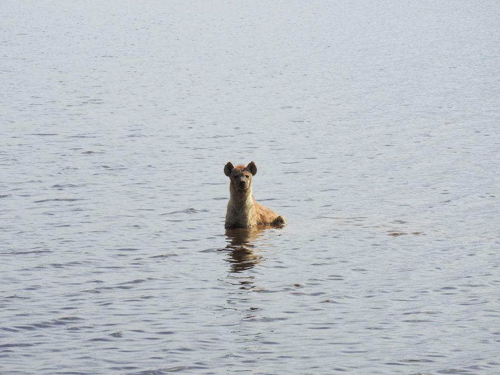 午後のサファリでは湖でハイエナが涼んでいました。昼間は適度に暑さを感じます。