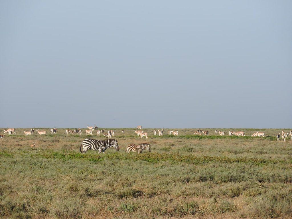次の日は別のエリアでサファリです。乾燥してるためにガゼルはたくさんいます。