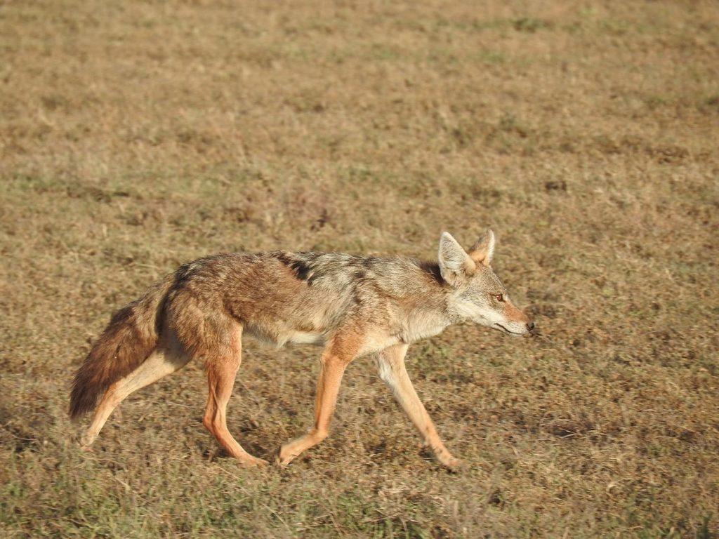 ゴールデンジャッカルはンゴロンゴロクレーター以外にンドゥトゥでも見られる事があります。