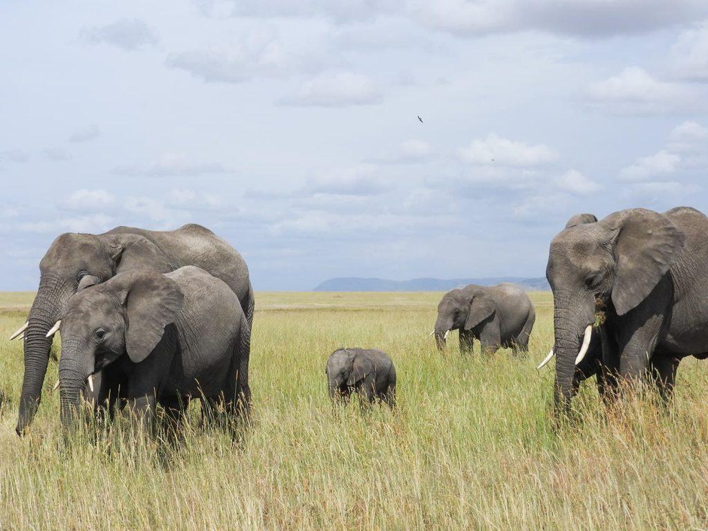 ンドゥトゥでは見かけませんでしたが、セロネラのエリアでは子連れのゾウを見られました。