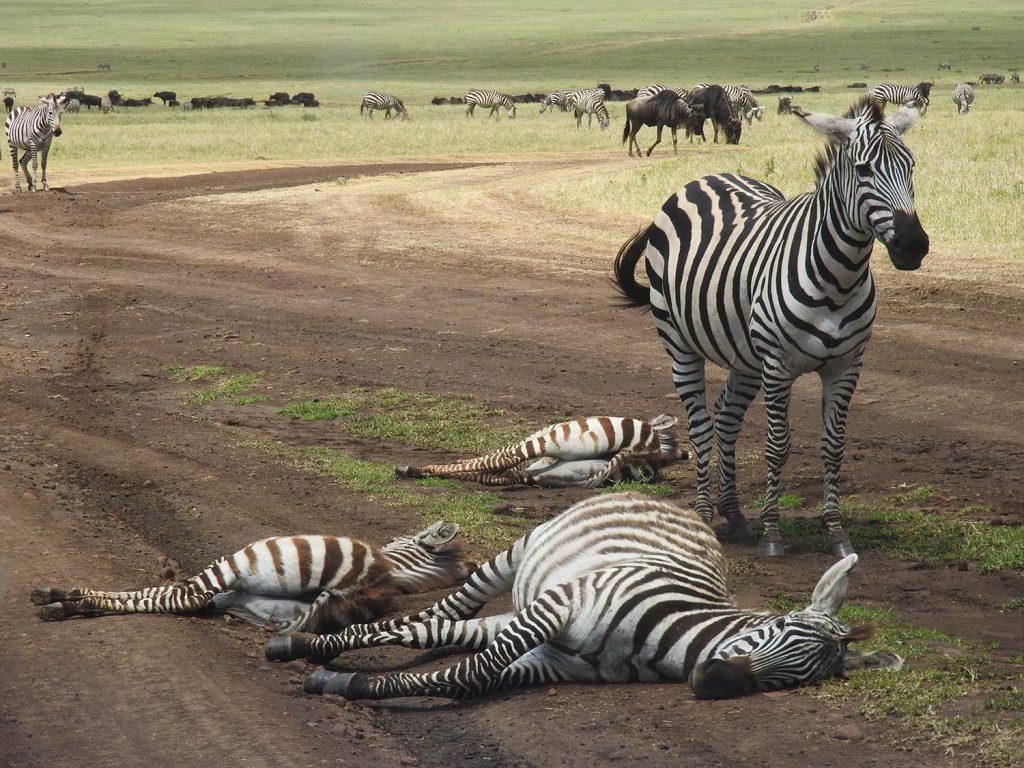 ンゴロンゴロのサファリでは道の上にシマウマの子供が寝ていました。