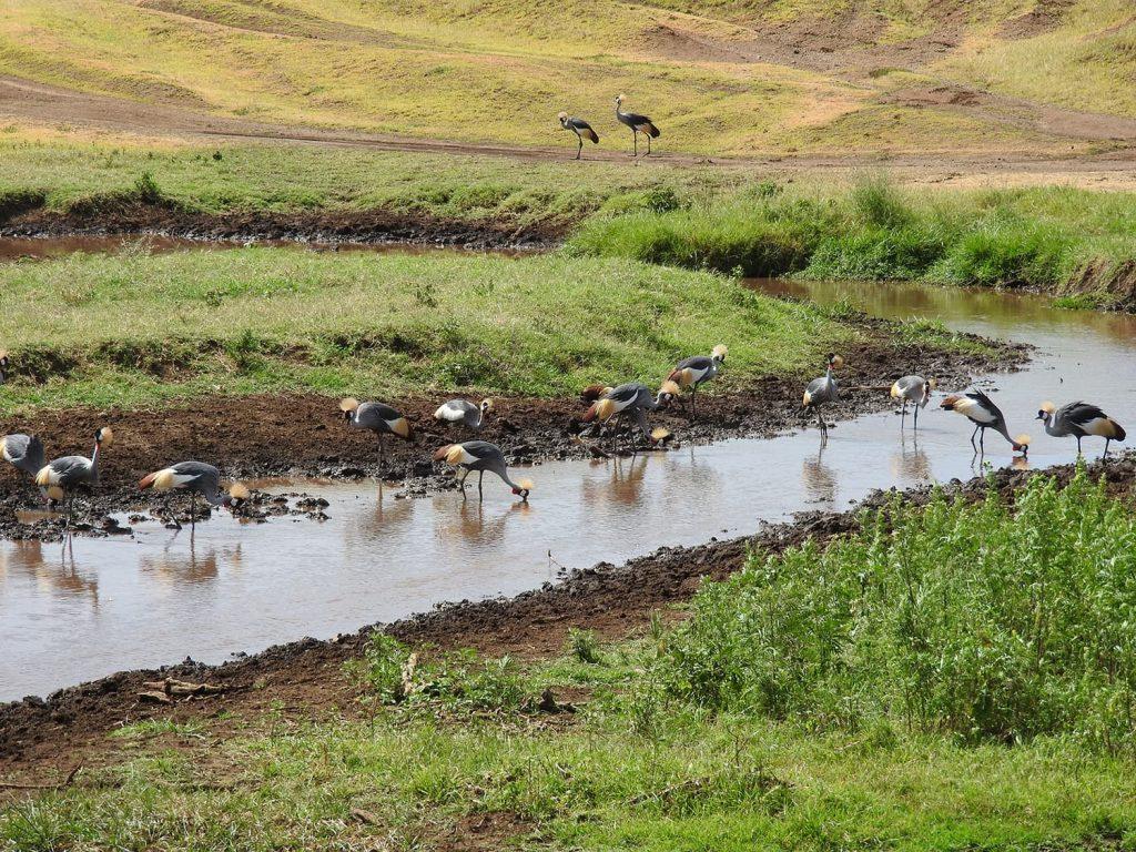 ホオジロカンムリヅルの群れ。