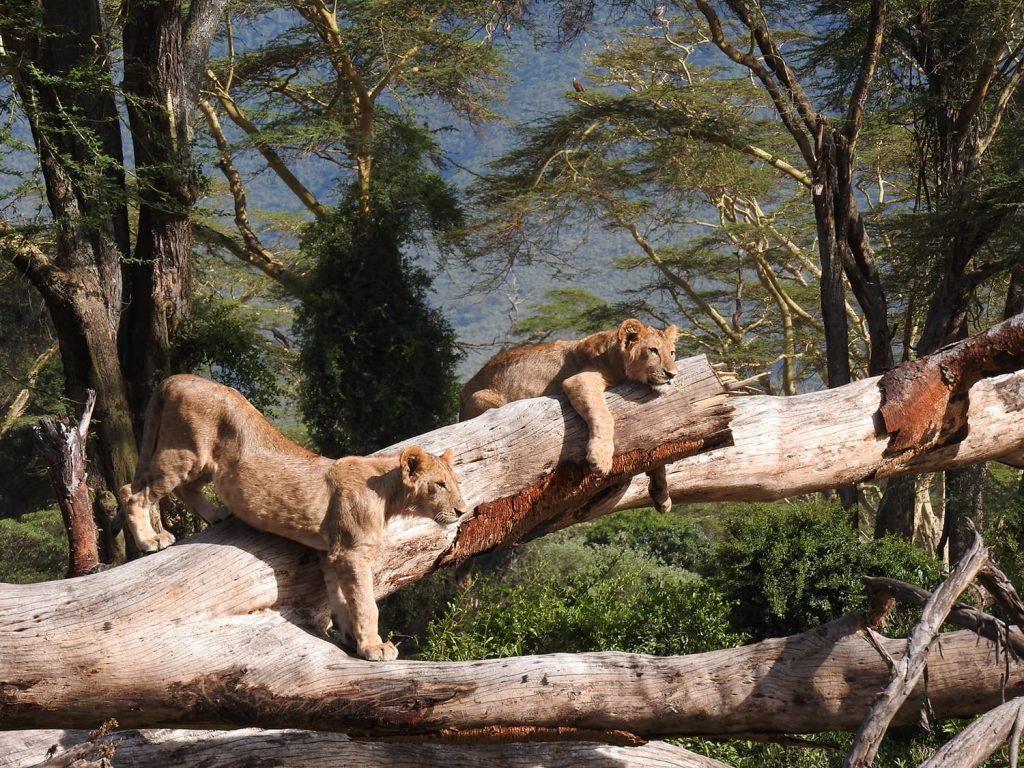 クレーターサファリのシメはライオンの子供達でした。
