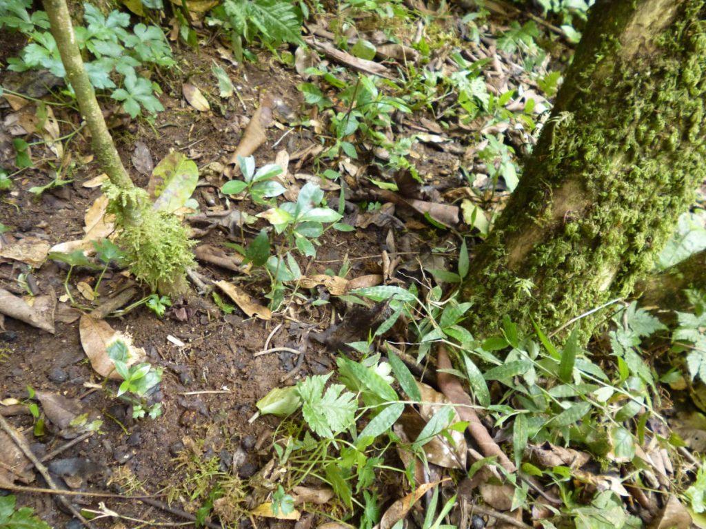 マザーツリーの周りには今年芽がでたばかりというかわいいコーヒーの木が!