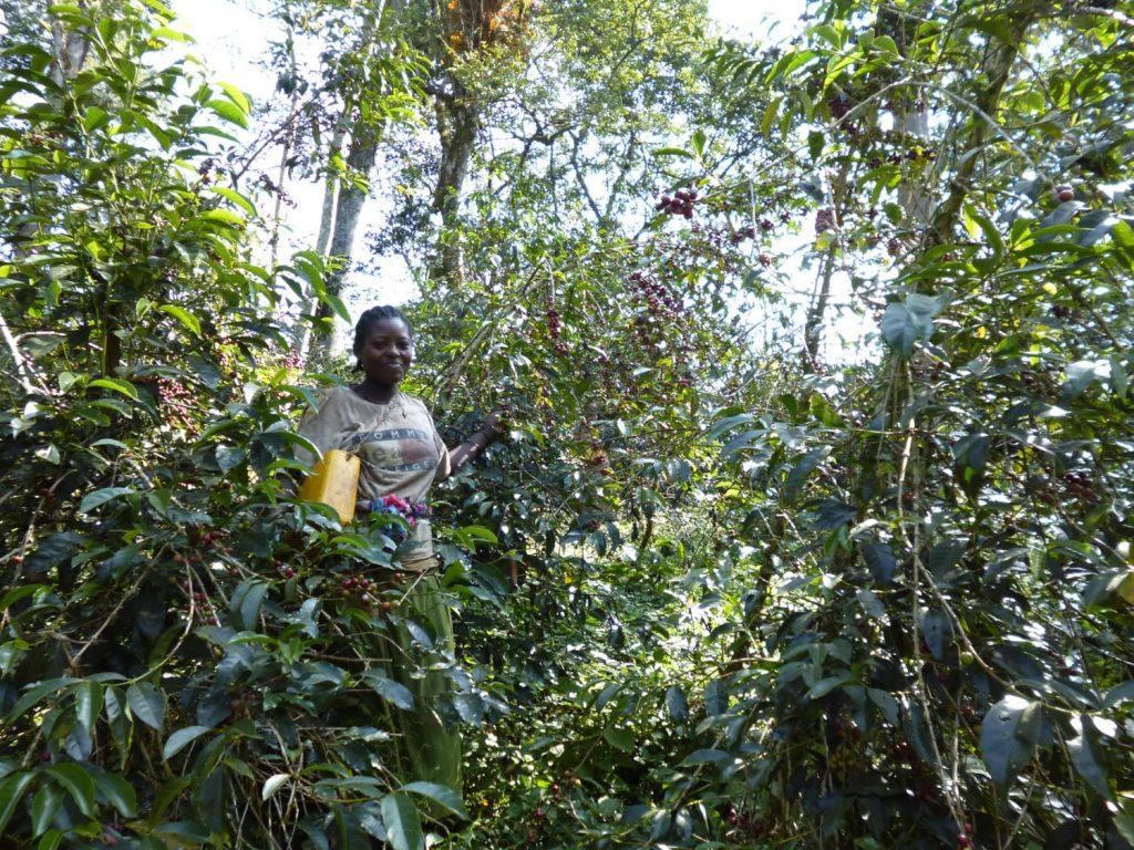 コーヒー農園では、収穫作業中!