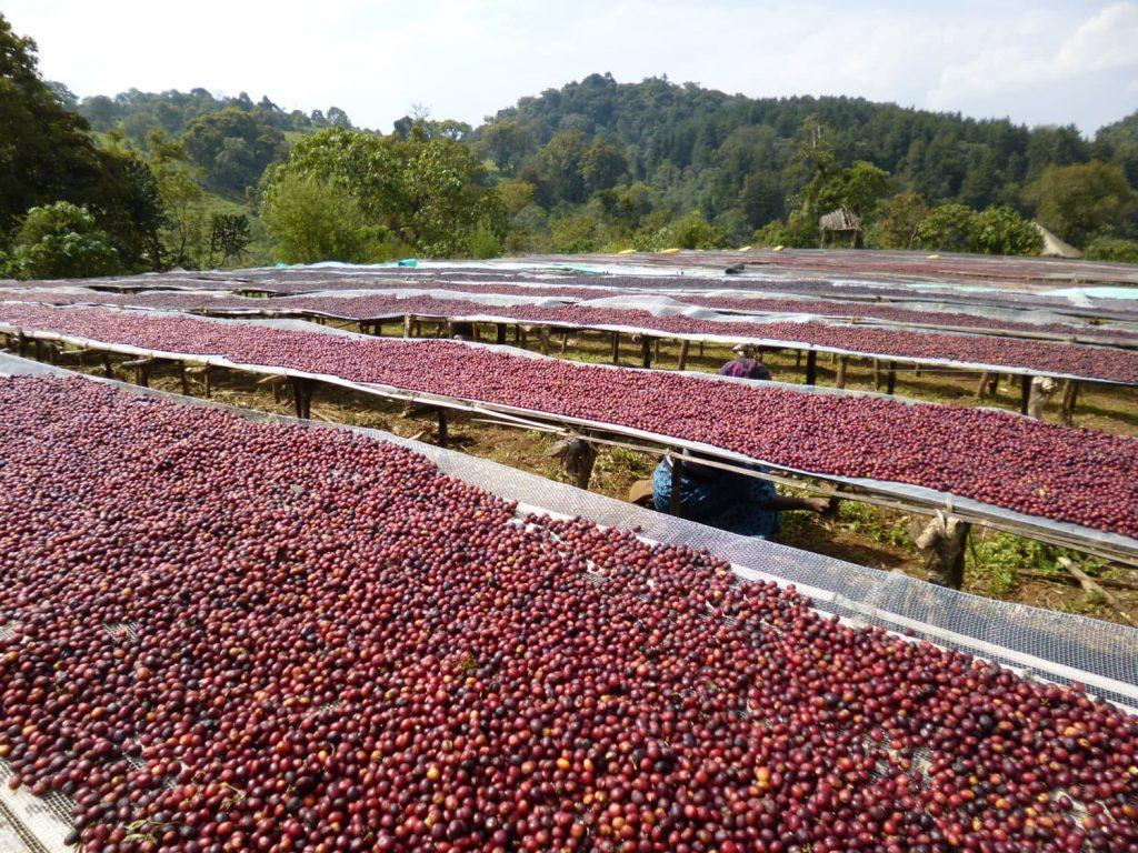 農園内では、収穫したコーヒーの実を約1週間かけて天日干し