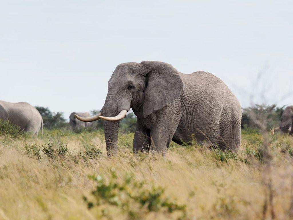 ナイ・パンではとにかく立派な牙を持ったオスゾウを多く見かけます