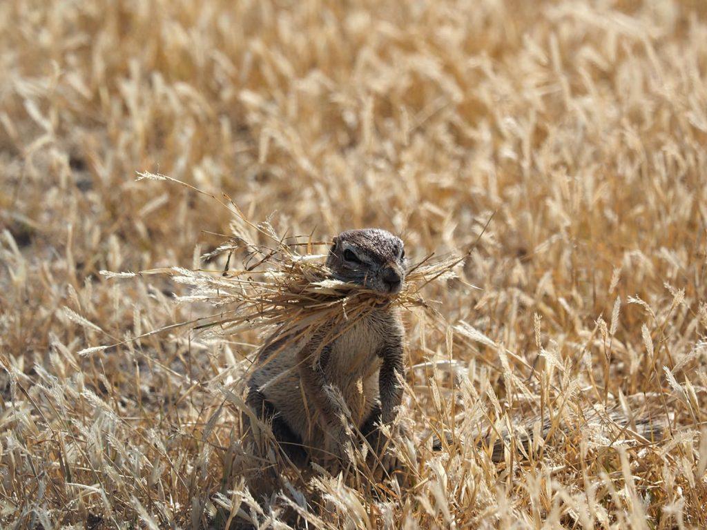 巣穴の整備に忙しい、ケープアラゲジリス