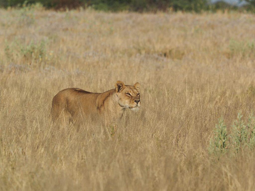 自らの体色と同じ色の草の中を歩くライオン