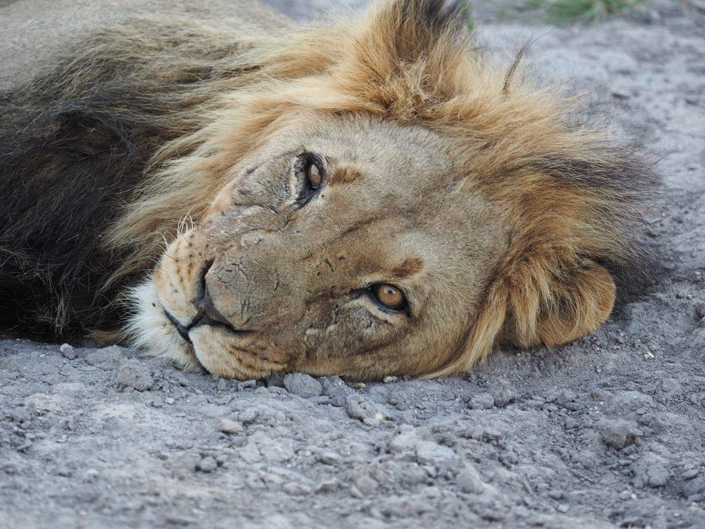 若くしてすでに群れを持ち、タテガミが黒くなりかけたオスライオン
