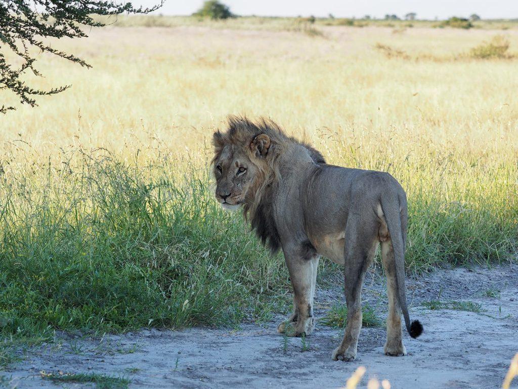 まだ若いライオンの個体は、オスでもほっそりとしなやかな身体をしています