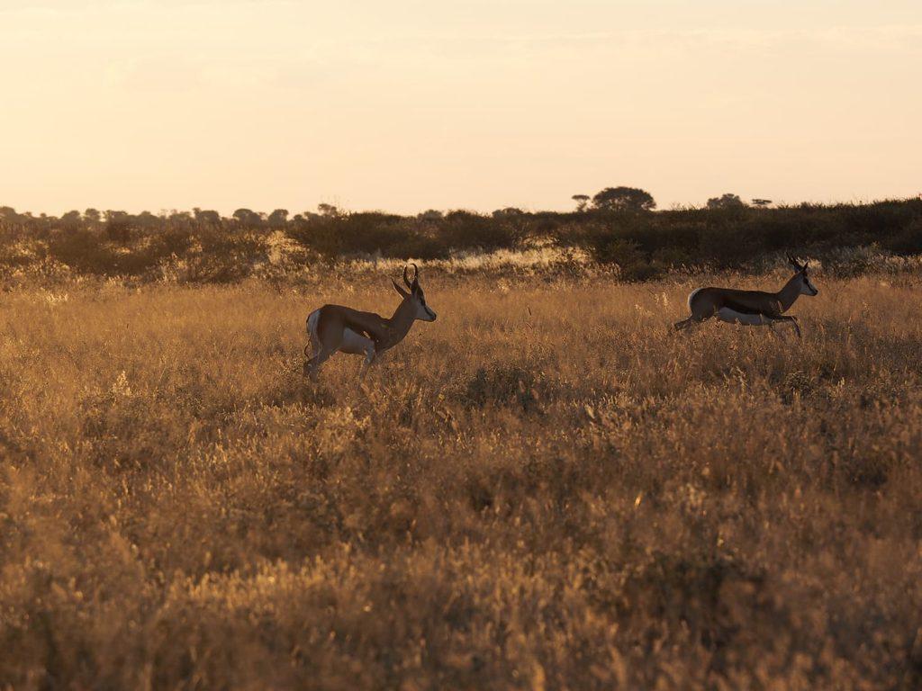 夕暮れ時、草食獣は捕食者から身を守るため平原の中央に集まります