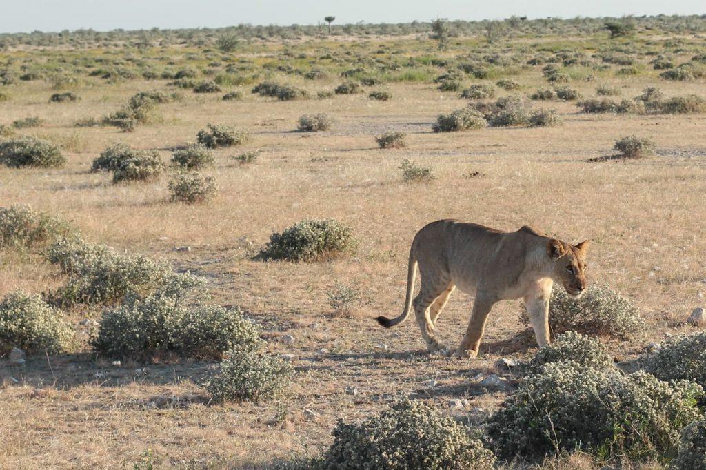 6頭ほどのプライドにいた若いライオン