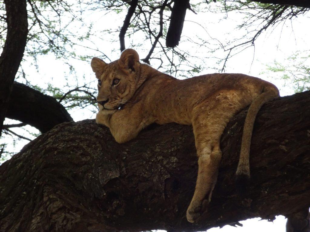 木登り子どもライオン1