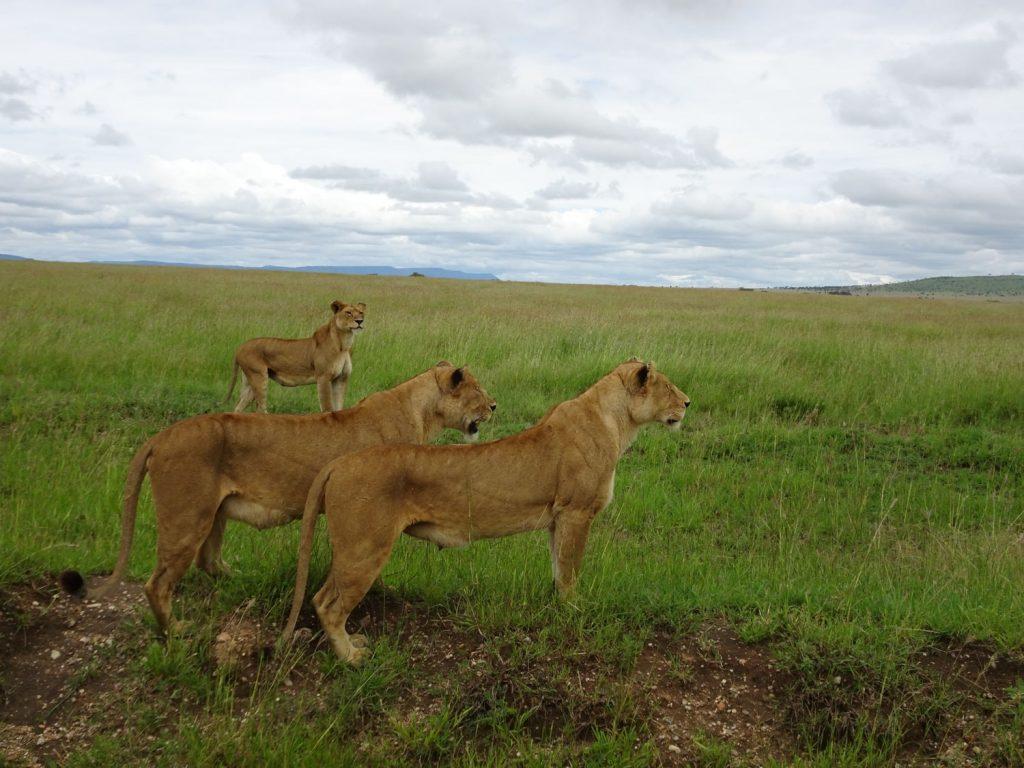 3姉妹のライオン