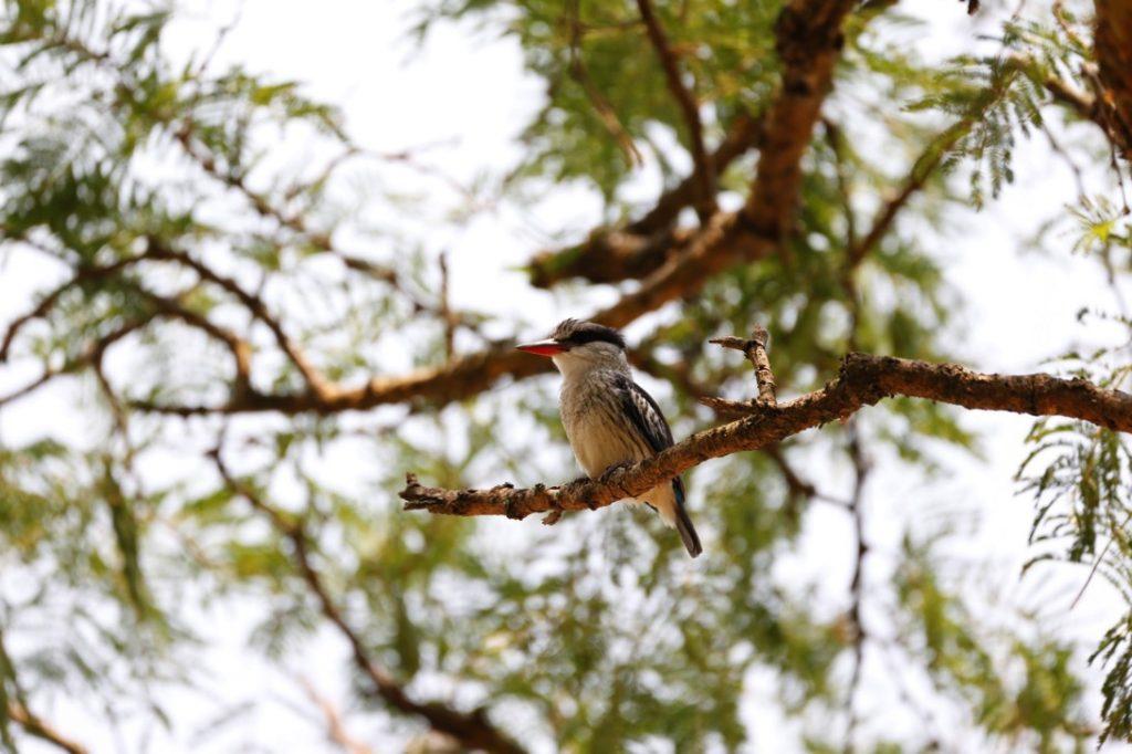 ランチをとった木の上にいたタテフコショウビン