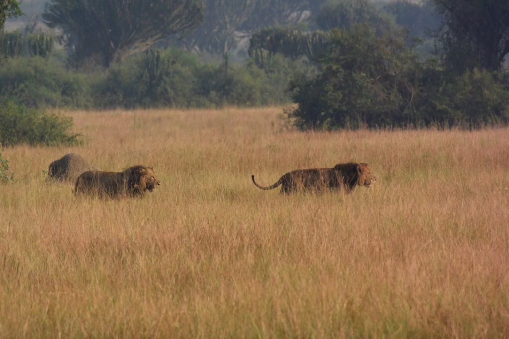 朝のサファリで ライオンの兄弟