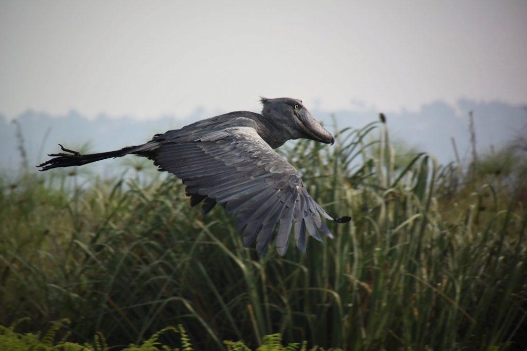 ハシビロコウ飛ぶ