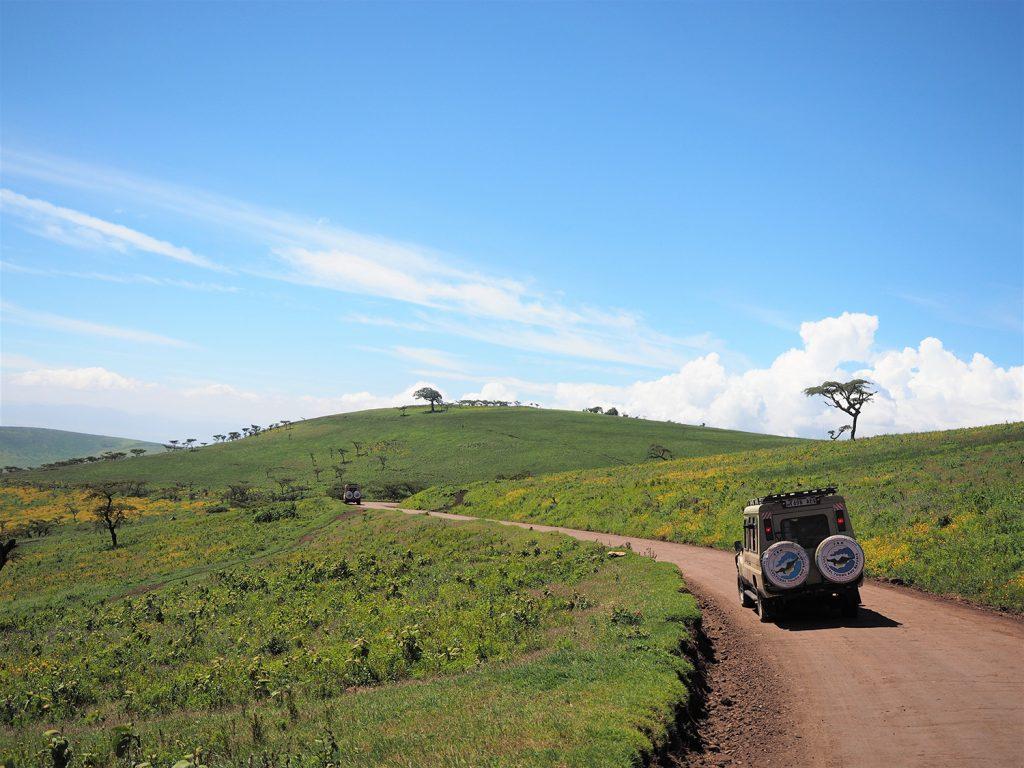 ンゴロンゴロは緑が豊かで、アスピリアの黄色い花がきれいに咲いています。