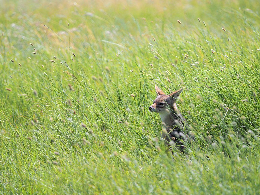 草丈が高く、小柄な動物は緑の中に埋もれてしまうのですが、それもまたよし。