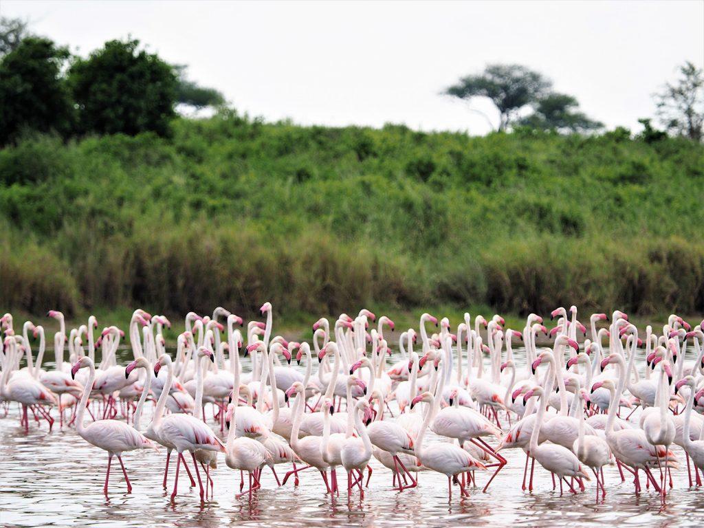 セレンゲティの中にある塩湖(マガディ湖)にはフラミンゴの姿も。