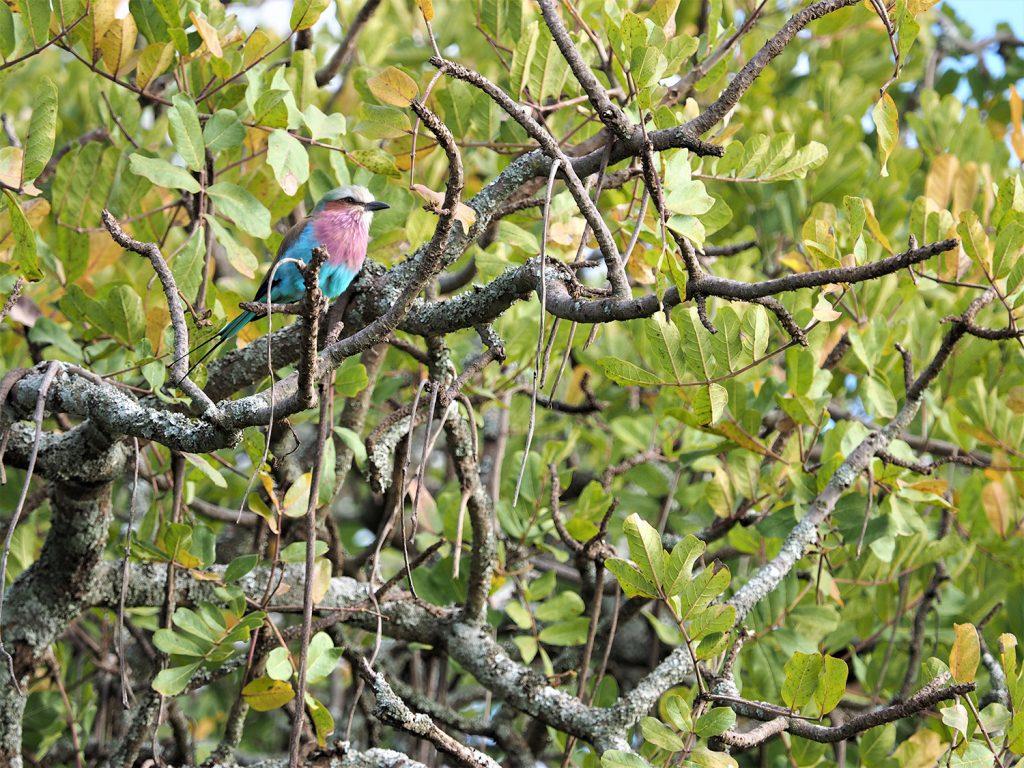 近づいてみてみると、ライラックニシブッポソウが休んでいました。緑の季節は鳥がとてもきれいです。