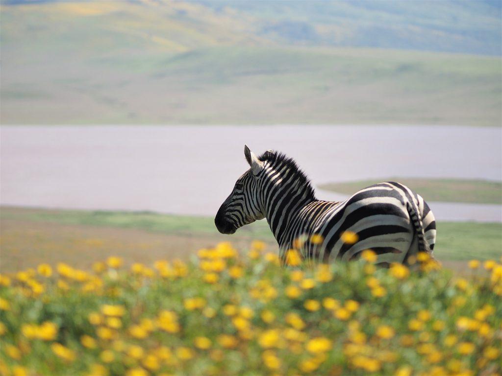シマウマが生き生きと走っていました。緑の季節は草食動物が喜んでいるのが傍目にもよくわかります。