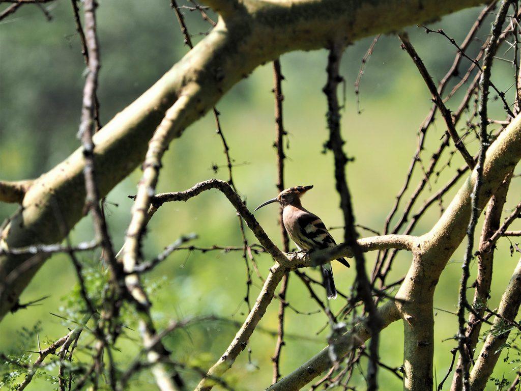 African Hoopoe/アフリカヤツガシラ。「戴勝」と書きます。「勝を戴く」なんて縁起のいい名前ですね。イスラエルの国鳥でもあります。
