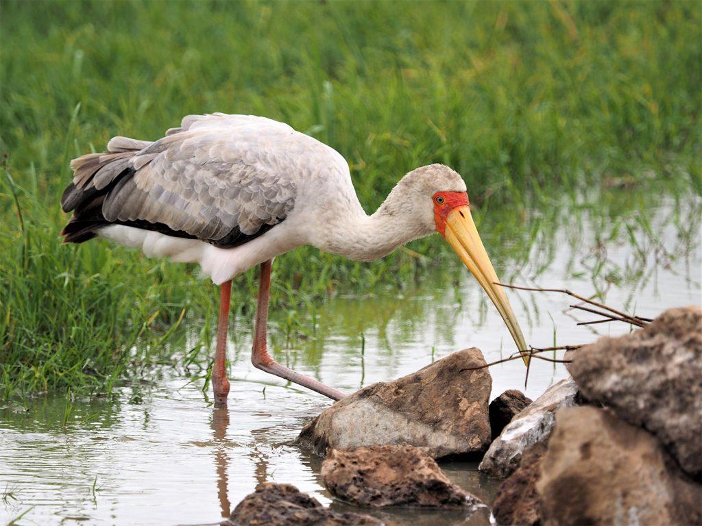 Yellow-billed Stork/アフリカトキコウ。成鳥はもっと真っ白ですが、幼鳥は灰褐色です。