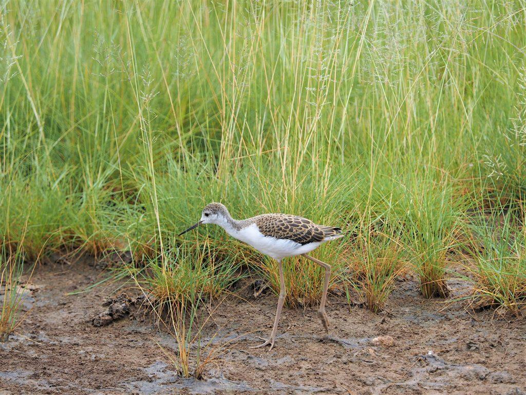 Marsh Sandpiper / コアオアシシギ。泥の近くが好き。分かりにくいですが、脚が黄緑色です。