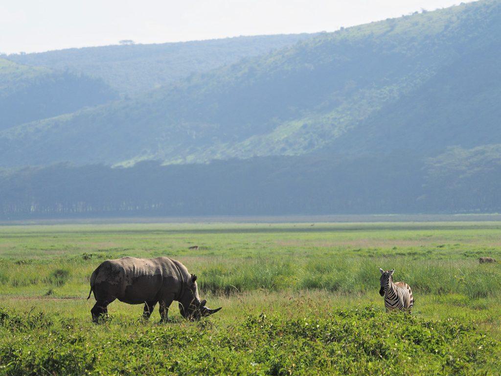 ナクル湖のシロサイ。意外とあっさり会えました。ナクル湖のシロサイは、ミナミシロサイと言い、かつては20頭ほど迄数が激減しましたが、南アフリカ共和国から移入されてきて繁殖保護され、現在は2万頭まで回復しています。亜種であるキタシロサイは2018年の3月に最後のオスが無くなり、現存するのはメスが2頭のみです。