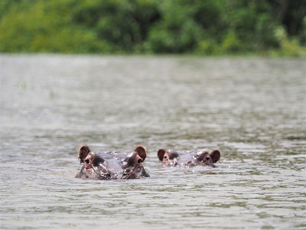 カバです。ナイバシャ湖のボートサファリも色々盛沢山でした。