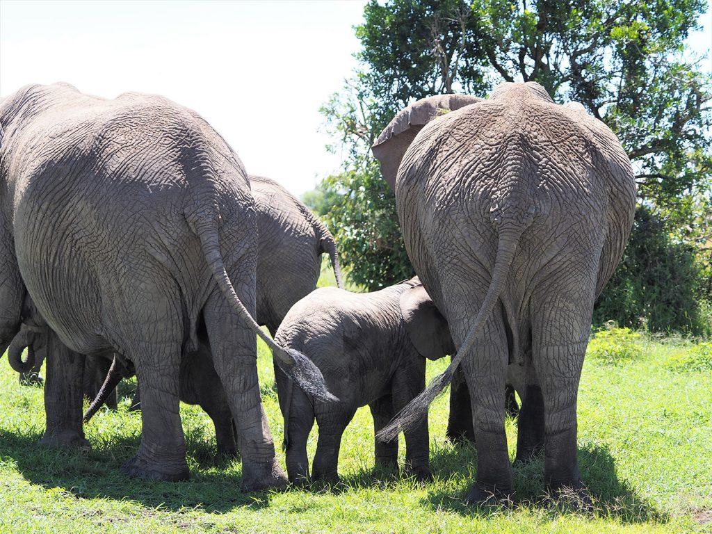 ゾウの赤ちゃんがおっぱいを飲んでいます。授乳している間は他の大人のゾウ達が自然と赤ちゃんの周りを囲うように守ります。ゾウのおっぱいは人間と同じように胸のあたりにあるんですね。