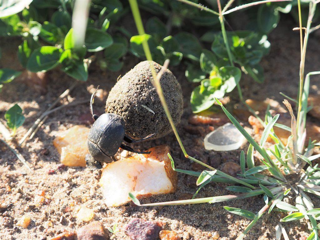 フンコロガシ!車のサファリでは見逃してしまうような小さな生き物に会えるのがウォーキングの魅力です。