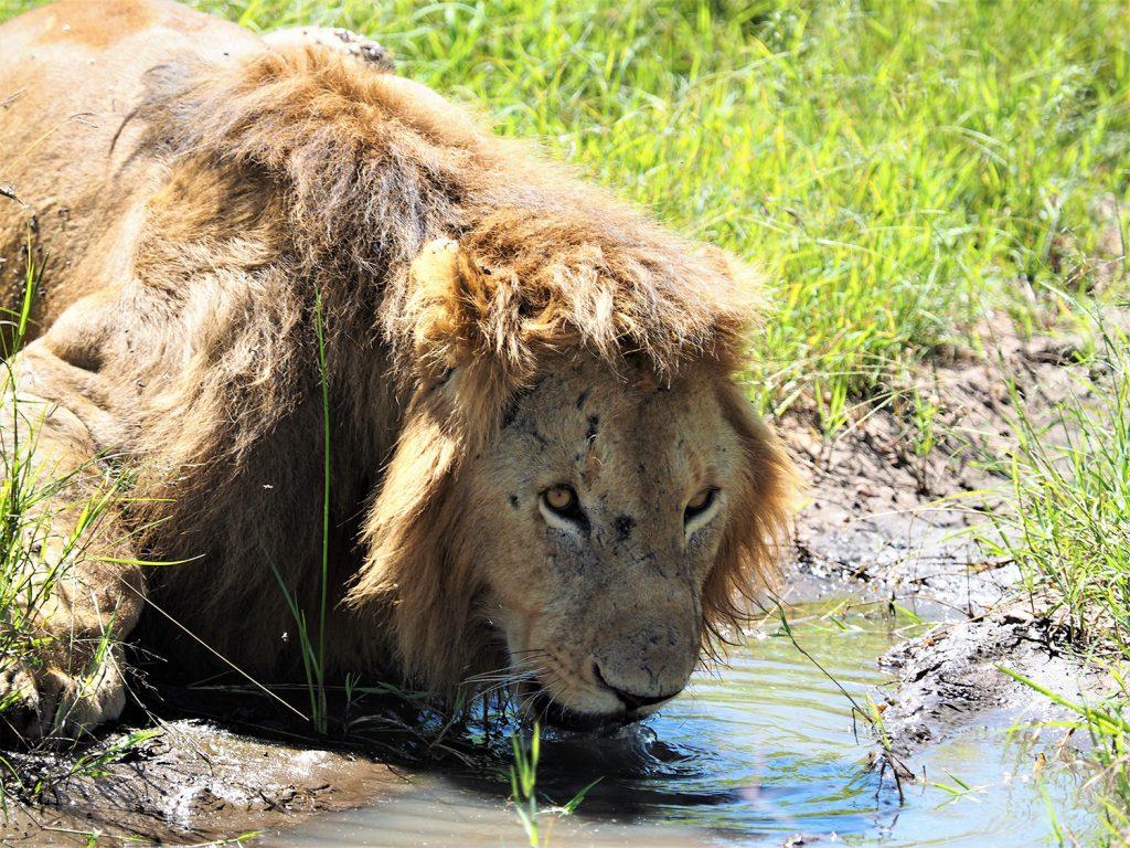 本当に晴天続きでしたので、やっぱりライオンも喉が渇いたのでしょう。