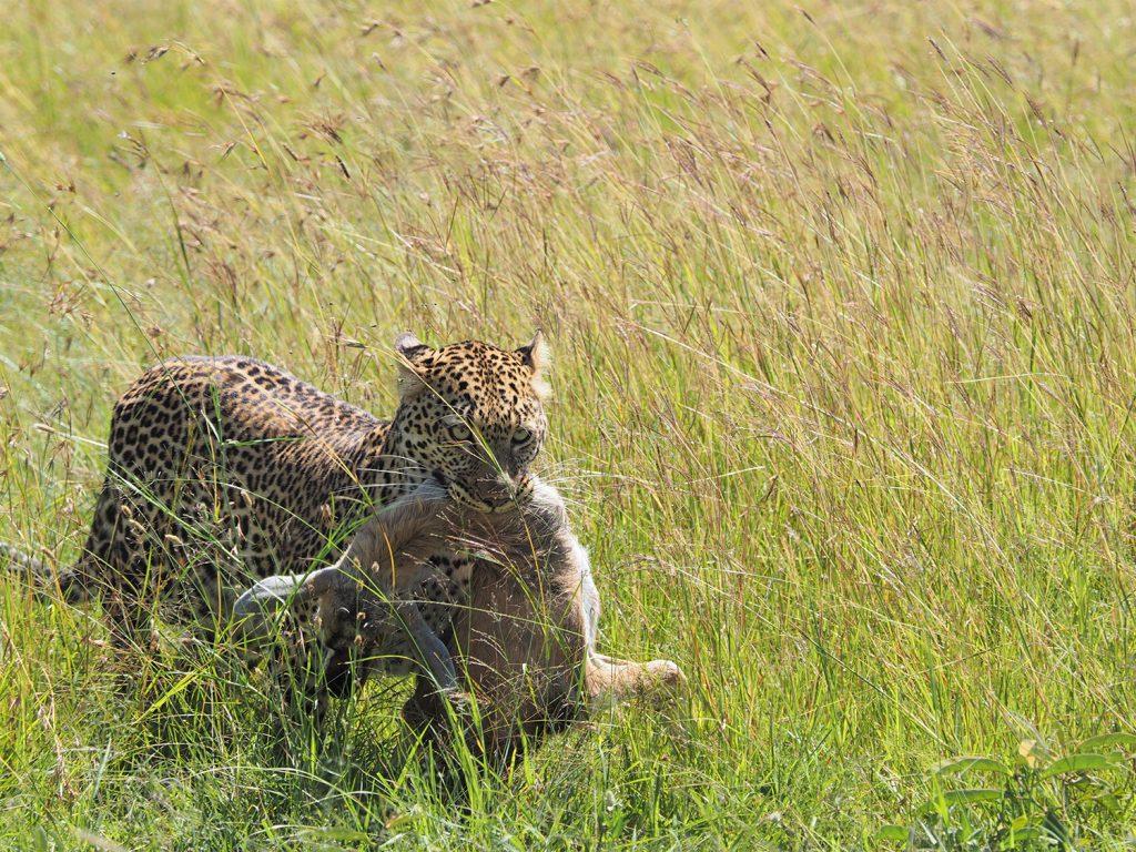 車を走らせていると、狩りを終えたばかりでしょうか。インパラの雌を仕留めたヒョウに遭遇しました。
