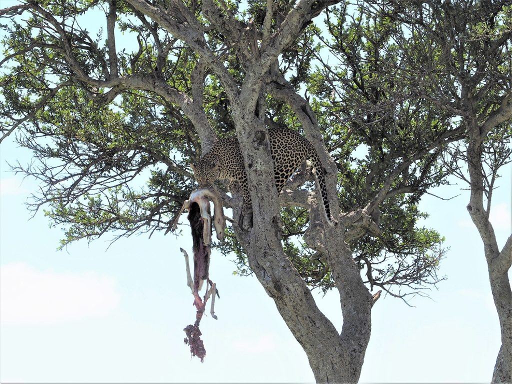 そのままアカシアの樹の上に運んでいきます。凄いアゴの力です。最終日にして、今回の15日間のハイライトともいえるシーンでした。