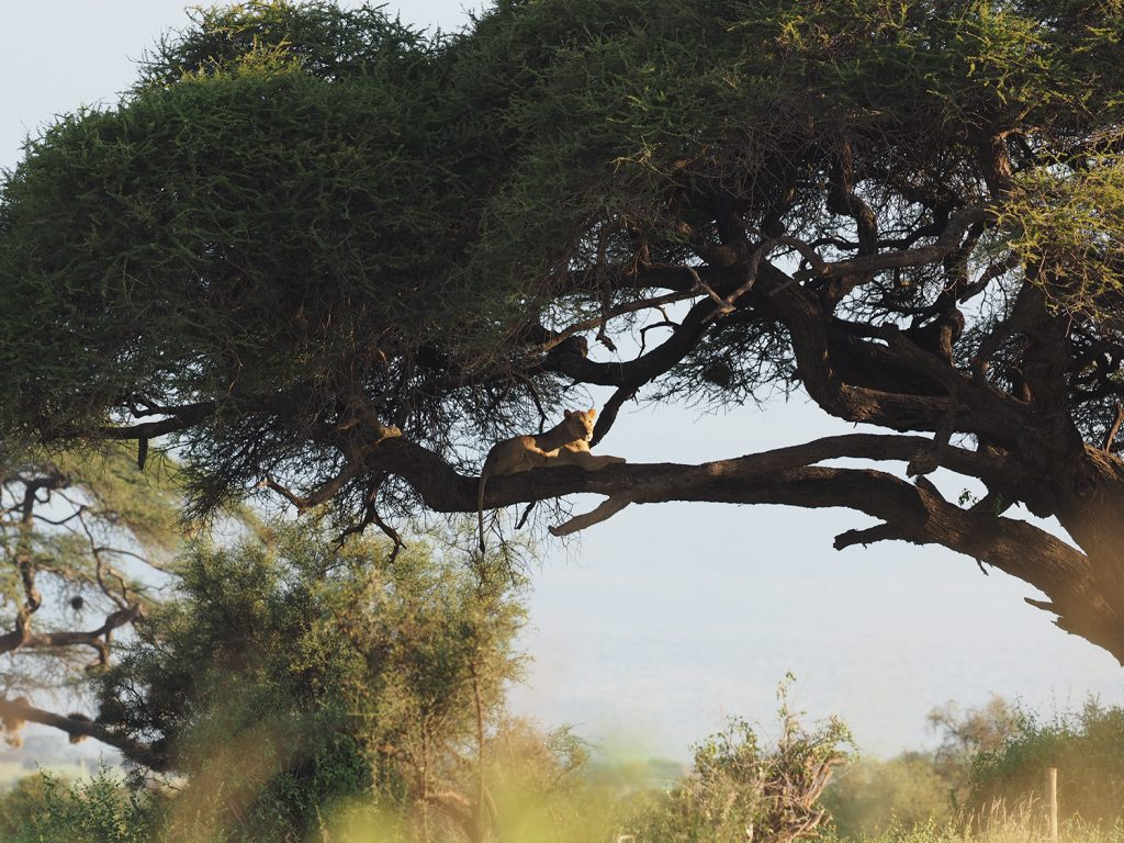 ブッシュに多い蚊を嫌ってか、木に登るライオン(遠いですが・・・)